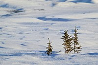 snow_surface, conifers, young_plants, North America, Canada, Yukon, landscape, snow_covered, snow, season, winter, wintry, cold, nature, vegetation, y...