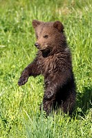 brown_bear, Ursus arctos, young, meadow
