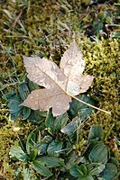 Forest_ground, fall leaf,
