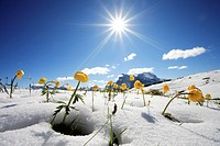 Italy, South_Tyrol, nature reserve schlern, mountain_meadow, troll_flowers, snow, back light,
