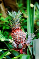 Sri Lanka, pineapple_plantation, pineapples comosus, detail, fruit, plantation, cultivation, plant, pineapple_plants, pineapple_tree, fruit, collectiv...