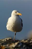 Silver_seagull, Larus argentatus,