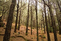 Canary Island Pine, Parque Natural Caldera de Taburiente, La Palma