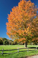 Maple tree in autumn, Concord, Massachusetts, USA