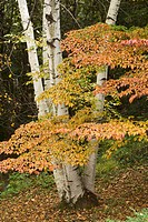 Birch & kousa dogwood in autumn, Poughkeepsie, New York, USA