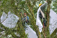 Collecting insects. Entomologists hanging up sheets for collecting insects from a tropical rainforest tree. Photographed in the Yungas jungle, along t...