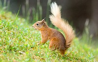 Red squirrel Sciurus vulgaris on the forest floor. Photographed in a Caledonian Scots pine forest, Cairngorms National Park, Scottish Highlands, in Ju...