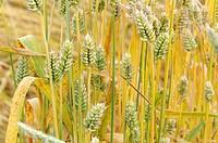 Club Wheat, Triticum compactum