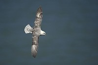 Northern Fulmar, France, Fulmarus glacialis