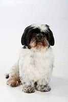 Shih Tzu, 10 years old, sheared