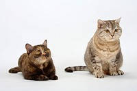 British Shorthair Cats, chocolate_tortie and chocolate_silver_tabby
