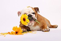 English Bulldog with Gerbera