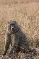 Tanzania, Africa, Baboon, Pavio, monkey, one anima