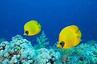 Masked Butterflyfish, Pair, two, couple, Chaetodon