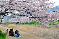 A group of young Japanese having a hanami, a cherry blossom viewing party on the path near the Takano river in Kyoto city