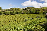 Tea plantations, Gorreanna, Sao Miguel island, The Azores