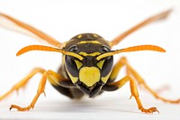 Wasp, close-up, schauhuber, insect, indoor photo, alfred (thumbnail)