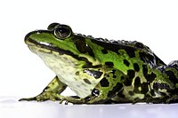 Eye, amphibisch, close-up, camouflage, animal, frog, amphibian (thumbnail)