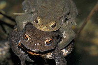 Brown, bufonidae, animals (thumbnail)