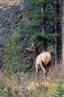 hind, Elk, deer, Cervus canadensis, wapiti, Jasper Nationalpark, Alberta