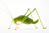Close-up, grasshopper, ganzansicht, colored, alfred (thumbnail)
