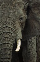 elephant, african, animal portrait, animal, africana, elephants, African