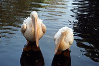 Hagenbecks, beaks, germany, feet, couple, Hamburg, arno (thumbnail)