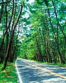 Road in pine woods