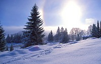 coniferae, blauphoton, conifer, cold, cellar, alexander