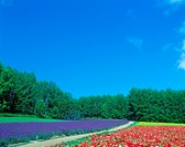 Flower field and blue sky (Poppy and the lavender)