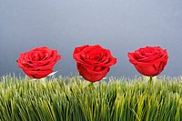 Three red roses growing out of artificial green grass (thumbnail)