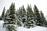 Snow_covered pine trees