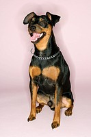 Portrait of Miniature Pinscher sitting with mouth open against pink background