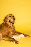 Golden Retriever dog with rawhide bone (thumbnail)