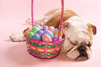 Close_up of sleeping English Bulldog next to Easter basket on pink background