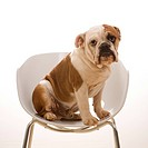 English Bulldog sitting in modern chair looking at viewer