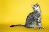 Gray striped cat looking up on yellow background