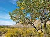 Desert landscape including Cottonwood tree, vegetation and rocky cliffs in Cottonwood Canyon, Utah