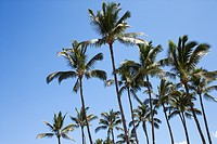 Palm trees against blue sky in Maui, Hawaii