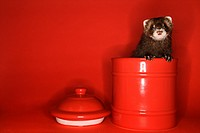 Brown ferret peeking out of red jar against red background