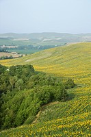 Sunflower fields and rolling hills in countryside of Tuscany, Italy