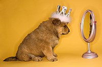 Puppy wearing crown in front of mirror