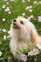Fluffy small dog in flower field