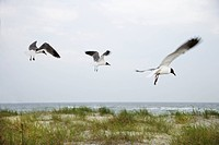 Three seagulls flying over beach