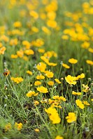 Yellow flowers growing wild