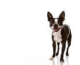 Boston Terrier dog