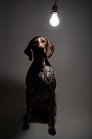 German Shorthaired Pointer with lit lightbulb hanging above