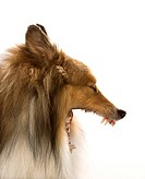 Collie dog yawning