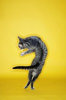Gray striped cat twisting in air on yellow background