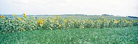 field, panorama, flower bed, flower, sunflower, sky, panoramic view